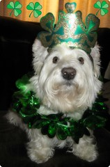 "3/12A ~ ""May your blessings outnumber the shamrocks that grow and may trouble avoid you wherever you go!"" (ellenc995) Tags: friends green riley westie westhighlandwhiteterrier shamrock stpatricksday march17 ruby3 coth supershot bej akob anawesomeshot citrit pet100 rubyphotographer 100commentgroup alittlebeauty yearofholidays challengeclub coth5 naturallywonderful thesunshinegroup challengeclubchampion 12monthsfordogs14"