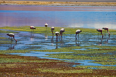 Waders. (david takes photos) Tags: losflamencosnationalreserve reservanacionallosflamencos salardetara tara atacama chile flamingo flamingoes sanpedrodeatacama regióndeantofagasta x