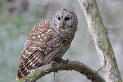Barred Owl (Greg Lavaty Photography) Tags: barredowl strixvaria texas february houston owl bird nature wildlife outdoorphotography
