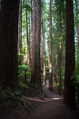 Redwood Memorial Grove track (smurfie_77) Tags: rotorua northisland newzealand nikon d5600 redwoods whakarewarewaforest forest trees californianredwoods sequoiasempervirens redwoodmemorialgrovetrack