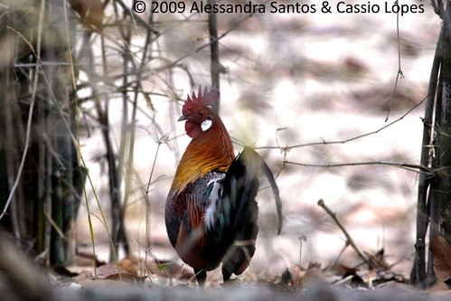 Rooster _MG_0886_F
