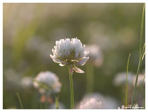 White clover 20090520 #01