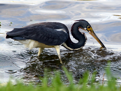 Tricolored Heron 20090522