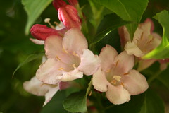 WEIGELA FLOWERED. (the water watcher 05.) Tags: flower flowers bud buds garden weigela shrub shrubs canoneos350d hawick scotland scottishborders borders leaf leafs town village green roxburghshire plant floweringshrub pink cream white red redcolor redcolour nature gardenflower