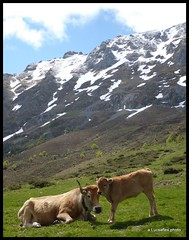 Picos cattle I (Lucsaflex) Tags: snow mountains cow spring spain cattle cows koeien picosdeeuropa