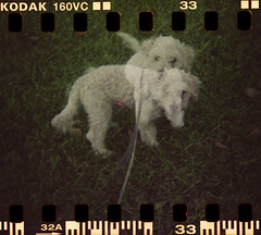 Double Dinky (Graustark) Tags: dog white film 35mm holga texas doubleexposure houston kodakportra160vc dinky sprocketholes ratapoo ratterrierpoodlemix