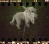 Double Dinky (Graustark) Tags: dog white film 35mm holga texas doubleexposure houston kodakportra160vc dinky sprocketholes ratapoo ratterrierpoodlemix