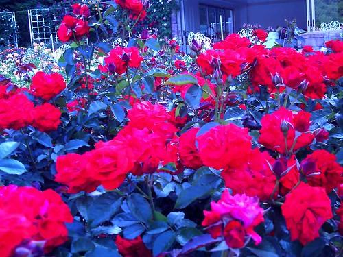 霊山寺「バラ庭園」トイカメラ-04