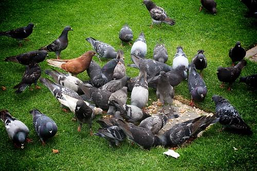 Pier Pigeons