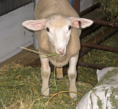 Lance munching on alfalfa