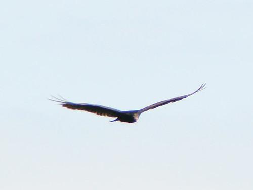 foss vulture