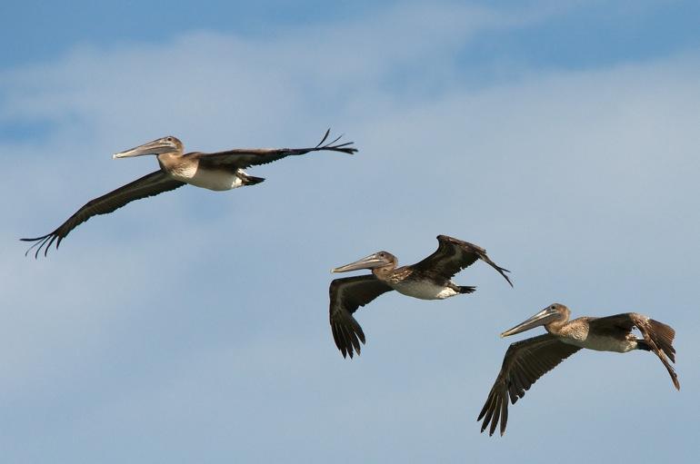 pelicans_0004