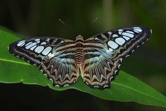 Clipper (Parthenos sylvia) II (EricK_1968) Tags: butterfly clipper emmen vlinder parthenossylvia papillion wow1 wow2 wow3 wow4 wow5 lilacinus tamron24135mmsp mygearandmepremium mygearandmebronze mygearandmesilver mygearandmegold aboveandbeyondlevel1 flickrstruereflection1 flickrstruereflection2 flickrstruereflection3 flickrstruereflection4 flickrstruereflection5 flickrstruereflection6 flickrstruereflection7