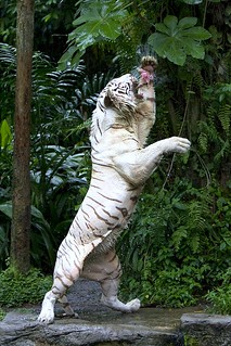 Hungry white tiger