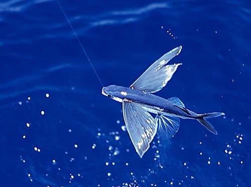 c pez volador:
