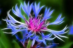Perrenial Cornflower (Rosemarie.s.w) Tags: pink flowers blue summer floral canon paintshop rebel fractal 2009 eos450d abigfave pspx2 fractalius prophotox2