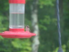 Blurred Black-chinned Hummingbird (female) (PictureRex) Tags: red black green bird female grey hummingbird eating feeder sittin chinned