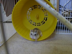 Twinkle (gingersquirrel) Tags: pets hamsters