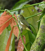 São Tomé White-eye  -  Zosterops ficedulinus feae (Muchaxo) Tags: saotome zosterops saotomeeprincipe fbwnewbird fbwadded zosteropsficedulinus saotomewhiteeye zosteropsficedulinusfeae zosteropsfeae