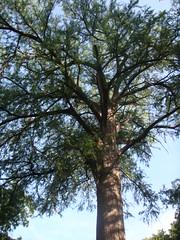 Big Bald Cypress Tree