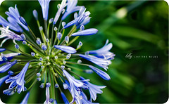 Lilly of the Nile (isayx3) Tags: blue flower nature up 35mm happy nikon close bokeh blues nile lilly monday nikkor f18 hmb d40 plainjoe isayx3