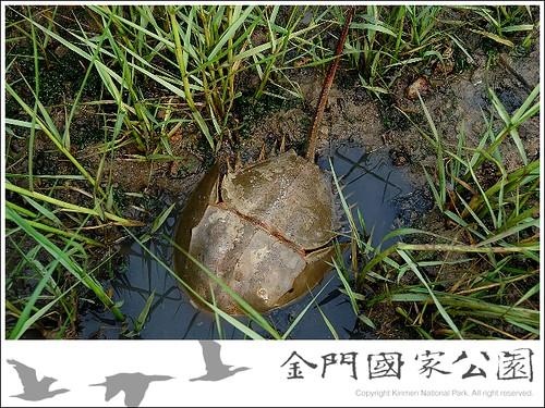 互花米草影響鱟魚棲地