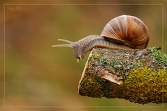 IN BALCONATA - GALLERY SEAT (SIPRICO - Silvano) Tags: canon snail natura lumaca trentino coredo macrofotografia naturesfinest specanimal photonature macrofografia specanimalphotooftheday theunforgettablepictures siprico fotografianaturalistica soloreflex artofimages potofgold bestcapturesaoi pricoco wwwsipricoit htttwwwsipricoit httpwwwsipricoit silvanopricoco elitegalleryaoi wwwpricocoorg