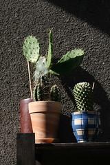 Kaktusy (siwa) Tags: cactus cacti suculent kaktus kaktusy sukulent