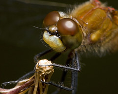 The Night  Shift (Emery O) Tags: macro canon dragonfly tubes extension 180mm meadowhawk macroextreme 580exii macrolife