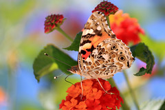 Butterfly (Theophilos) Tags: flowers nature colors butterfly insect greece 1001nights