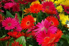 Colorful gerberas (Magda of Austin) Tags: pink red flower yellow catchycolors colorful lasvegas gerbera bellagio flowergarden pentaxk200d