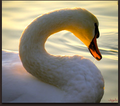 Tant de grce (Jogabi-Michle) Tags: beautiful swan cygne finest birdwatcher the supershot flickrhappy avianexcellence flickrdiamond theperfectphotographer rubyphotographer vosplusbellesphotos alittlebeauty fabbow tff1 photographersworldbestfriends capture magicunicornverybest newgoldenseal