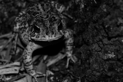Professor Frog (Matheus Coura) Tags: blackandwhite white black frog toad hop oreo