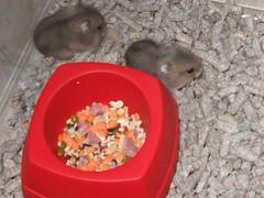 Offsprings (Hamsters Affair Hamstery) Tags: hamsters sapphire