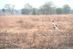 Martial Eagle attacking young Impala - 1 - Mikumi NP, Tanzania