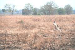 genus: Polemaetus. Martial Eagle attacking young Impala - 1 - Mikumi NP, Tanzania
