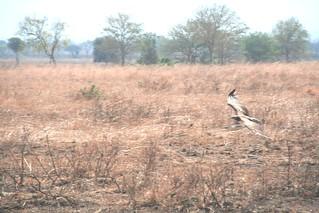 Martial Eagle attacking young Impala - 1 - Mikumi NP, Tanzania