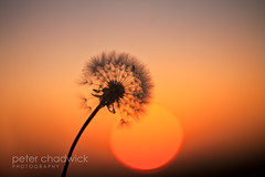 Time_teller (PeterChad) Tags: life sunset orange sun game clock closeup warm glow cheshire time head joy seed dandelion seedhead delicate setting renewal chidren