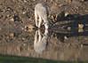 Reflection_Willson_DSC_0121_3_D (renrut01) Tags: awn sheep australian wool network work dam water lamb drinking reflection