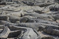Crocoloco-IZE-109 (Zachi Evenor) Tags: zachievenor israel crocoloco crocolocofarm crocodilefarm crocodiliansfarm crocodile nilecrocodile crocodylusniloticus crocodylus niloticus crocodilia crocodilians haarava riftvalley צחיאבנור ישראל קרוקולוקו חוותקרוקולוקו חוותתנינים חוותתנינאים תניןהיאור תנין היאור תנינים קרוקודיל קרוקודילים תנינאים הערבה 2017 hatzeva 20170221