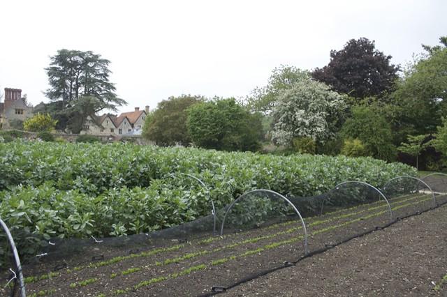 Field Beans