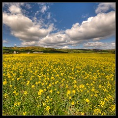 Rapeseed Field :: HDR :: Vertorama (|sumsion|) Tags: uk travel flowers vacation sky usa holiday yellow clouds square landscape scotland nikon may 2009 hdr verticalpanorama rapeseed sigma1020mm d90 sumsion nikond90 vertorama sumsioncom