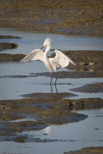 Snowy Egret by you.