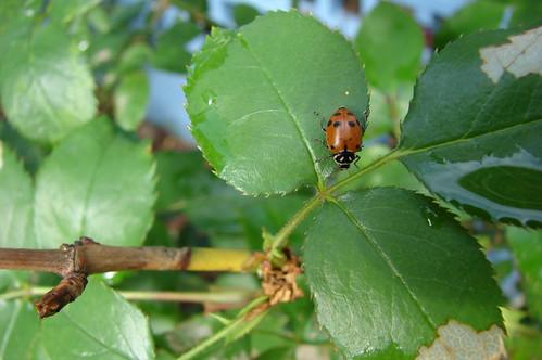 Ladybugs 2009
