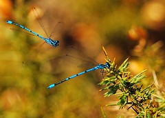 "Helicopters (Paul ""Razor"" Ritchie) Tags: blue macro nature animals nikon bokeh wildlife insects hampshire bugs explore damselfly liblula newforest arthropoda fluttering damselflies odonata d60 insecta zygoptera sigma105mmmacro azuredamselfly coenagrionpuella may2009 paulritchie vosplusbellesphotos thelizardwizard wwwhampshiredragonfliescouk"