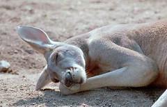 kangaroo-sleeping