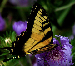 Tiger swallowtail (bdaryle) Tags: macro nature yellow butterfly insect sony explore naturesfinest tigerswallowtailbutterfly alittlebeauty brandondaryle bdaryle imagesbybrandon geshgreenearthsafehealthy