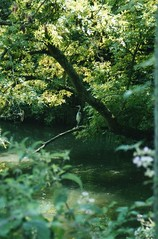Photo of Heron at Slindon Pond