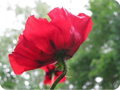 poppy VII