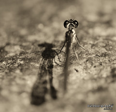 D0F Damselfly :P (Sir Mart Outdoorgraphy) Tags: flower macro fauna magazine insect flora education nikon photographer dof bokeh outdoor bugs best depthoffield micro malaysia grasshopper penang indah damselfly damselflies butterworth mmt unik serangga nikonian d90 ulat kumbang sp90 menarik tamronsp90 nikonuser jurugambar penangflickr sirmart outdoorgraphy cheroktokun penangflickrgroup malaysianmacroteam hutanlipurbukitmertajamcheroktokun penangflickrnatureouting